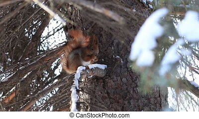Red squirrel eating pine tree seeds in winter - Cute red...