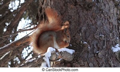 Red squirrel on pine branch eating nuts in winter