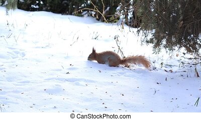 Little squirrel running on snow in winter forest - Red...
