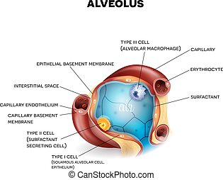 Alveolus closeup anatomy, three types of alveolar cells,...