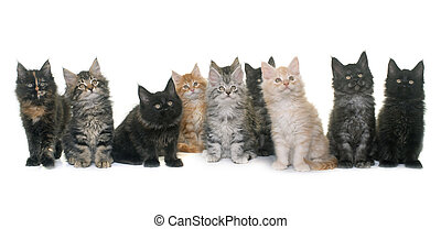 maine coon kitten in front of white background