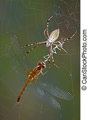 Spider with dragonfly in web - An argiope spider has caught...