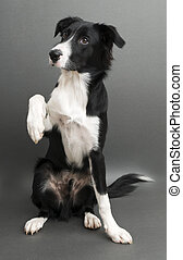 Border collie - Young border collie standing on gray...
