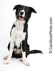 Border collie - Young border collie sitting on white...