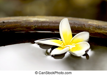 Tropical frangiapani flower floating in a pot - Tropical...