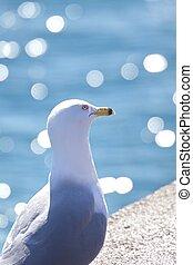 Lake Ontario seagull