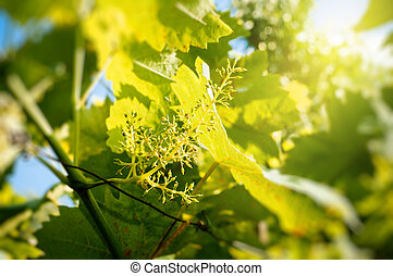 Organic agriculture - grape buds in spring