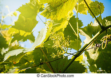 Stage of grape vine bloom - grape inflorescence with nearly...