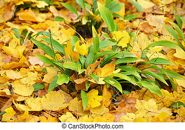 Autumnal Hosta Guacomole - Yellow Hosta Guacomole plant at...