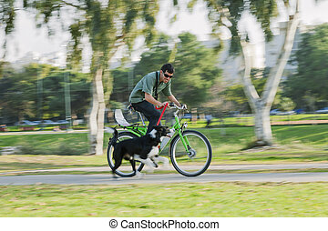 Border Collie Running with Cycling Owner - A Border Collie...