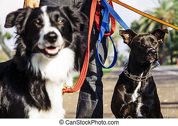 Dogwalker with Dogs in Park - A dogwalker spending time with...