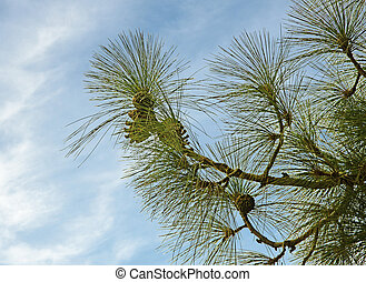 Pine branch with cone on sky background