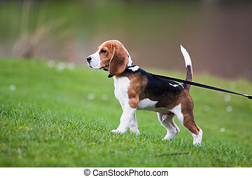 Beagle on green grass - Dog on green meadow Beagle puppy...