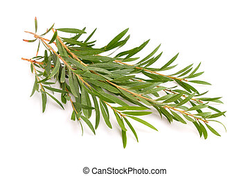 Melaleuca twigs. Isolated on white background.