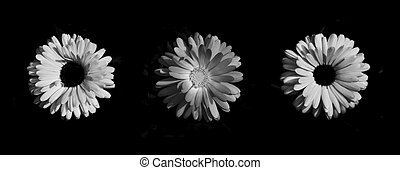 High contrast Marigolds - Mono high contrast photo of 3...