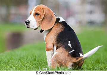 Sad beagle puppy - Small dog, beagle puppy sitting and...