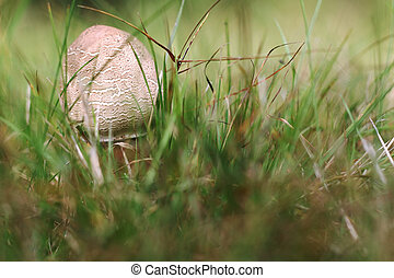 Small parasol mushroom in the grass - Detail of the small...