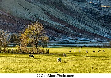 English Lake District countryside near Langdale, UK - Sheep...