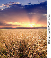 Crop field and sunset sky - Majestic sunset over crop field