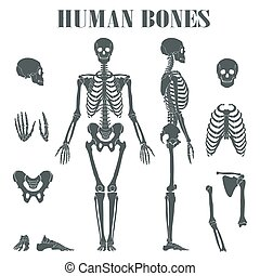 Human skeleton with different parts. Anatomy of human body,...