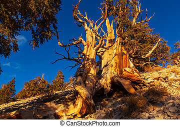 Ancient tree - Ancient Bristlecone Pine Tree showing the...