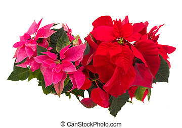 pink and red  poinsettia flowers or christmas star