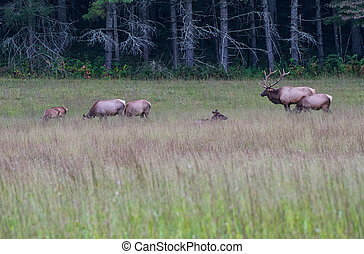Bull Elk Keeping Watch over Harem in Cataloochee Valley