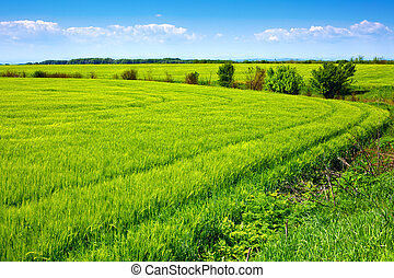 Field of green fresh grain and beautiful blue sky -...