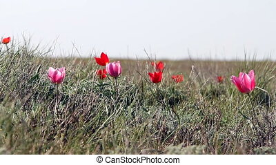 Colorful tulips bloom in the desert