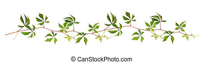 Parthenocissus twig with green leaves in a line arrangement...