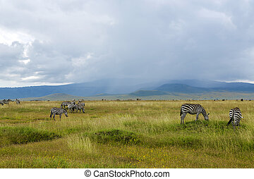 Herds of zebra and blue wildebeest grazing in the savannah...