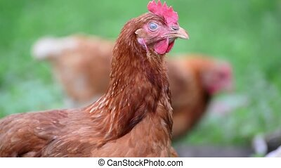 Portrait of a chicken on the nature - Portrait of a...