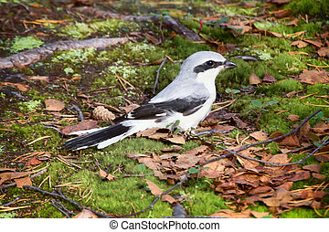 Nine killer (Great grey Shrike) is ferocious predator of...