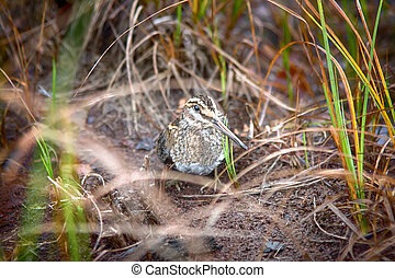 Jack snipe - very secretive marsh bird - Jack snipe...