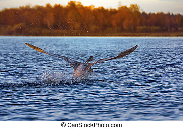 Whooper Swan taking off from water - Whooper Swan weighs up...