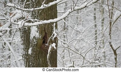 Snow falling in forest on a tree with hollow - Snow falling...
