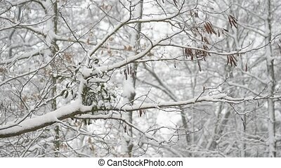 Mistletoe on black locust tree branch in forest - Mistletoe...