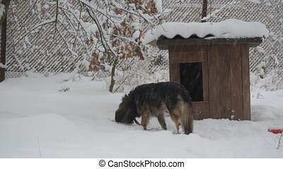 Dog on chain in snow enters its kennel in winter in snowfall.