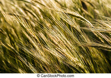 Ears of cereal plant, close-up - Ears of cereal plant, field...