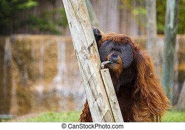 Orangutan in zoo.