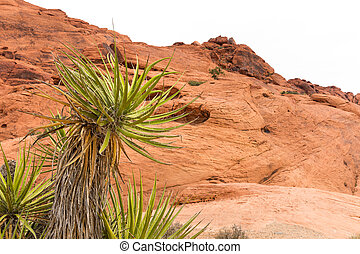 Desert Yucca Plant in front of a Red Rock Background - Yucca...