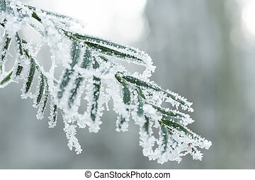 Coniferous branches covered with hoarfrost.