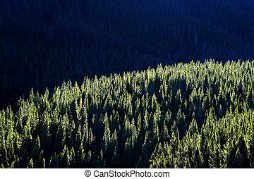 Forest of Pine Trees with Sunlight