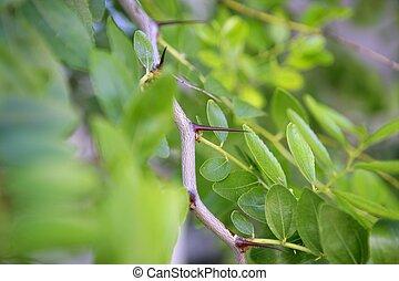 Jujube fruit stings  Ziziphus jujuba vulgaris