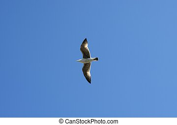flying seagull sea bird view from below blue sky background...