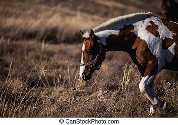 piebald goes along the yellow grass - piebald horse goes...