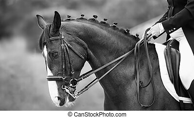 Close up of the head a bay dressage horse, black white