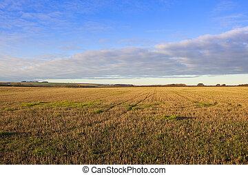 autumn straw stubble