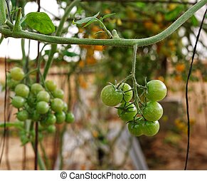 Green cherry tomatoes growing on the vine