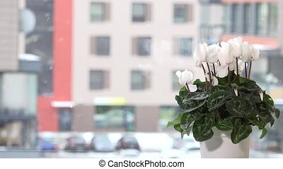 White cyclamen flower in pot on window sill and snowflakes snow fall outside